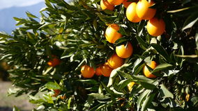 Ripe oranges on a tree branch. Closeup view on ripe oranges on a tree branch in Turkey stock video