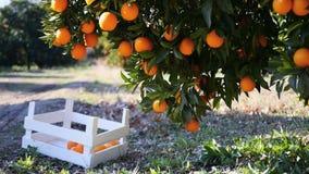 Ripe oranges on a tree branch. Closeup view on ripe oranges on a tree branch and in the wooden basket under it, Turkey orange gardens stock video footage