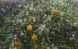 Ripe oranges on tree. Close up of Ripe oranges on tree stock photos