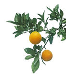 Ripe oranges on tree Stock Photography