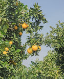 Ripe oranges on tree Royalty Free Stock Photography