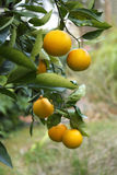 Ripe Oranges on the Tree in Florida. Branch of a Florida orange tree with ripe oranges Stock Photos