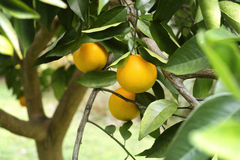 Ripe Oranges on the Tree in Florida. Closeup of oranges and leaves on a beautiful healthy orange tree in Florida Stock Image