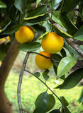 Ripe Oranges on the Tree in Florida. Closeup of a a Florida orange tree with ripe oranges Royalty Free Stock Image