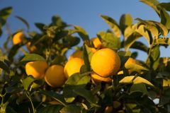 Ripe oranges on a tree. Sunny day in Italy stock photos