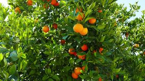 Ripe Oranges on the Tree 06. A shot of ripe and green baby oranges together on the tree. Taken at a Mediterranean orchard in the spring stock video footage