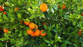 Ripe Oranges on the Tree 01. A shot of ripe and green baby oranges together on the tree. Taken at a Mediterranean orchard in the spring stock footage
