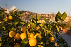 Ripe oranges on a tree. Sunny day in Italy royalty free stock photo