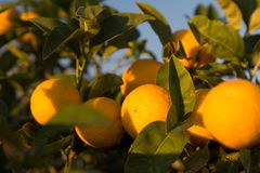 Ripe oranges on a tree. Sunny day in Italy stock image