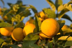 Ripe oranges on a tree. Sunny day in Italy stock photo