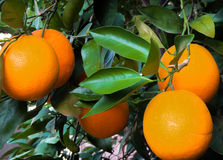 Ripe oranges waiting to be picked. Ripe, juicy, oranges hanging from their branches just waiting to be picked and enjoyed Stock Images