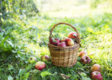 Ripe organic apples in the basket outside in the garden Stock Image