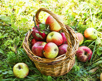 Ripe organic apples in the basket outside in the garden Royalty Free Stock Photo