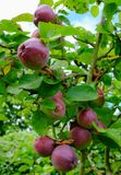 Ripe, organic Apples seen on one of a number of trees in a commercial cider orchard. The apples will be pressed and made in cider, allowing the produce to Royalty Free Stock Photography