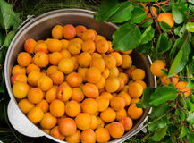 Ripe Organic Apricots with leaves. Bucket an apricot and a branch with apricots stock photos
