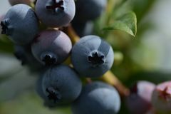 Ripe organic blueberry ready to be picked up stock image