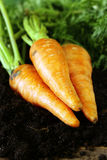 Ripe organic carrots with green leaves Royalty Free Stock Photography