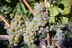Ripe Organic Chardonnay Grapes Stock Photography