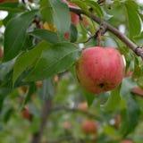 Ripe Organic Chestnut Crabapple (Malus 'chestnut') Stock Image