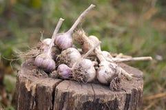 Ripe organic garlic Royalty Free Stock Image