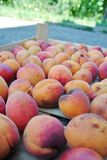 Ripe organic orange apricots packed in a wooden crate Stock Image