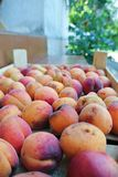 Ripe organic orange apricots packed in a wooden crate Royalty Free Stock Photos