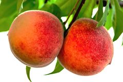 Ripe organic peach fruits on branch Stock Photos