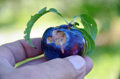 Ripe organic plum damaged by hailstorm Royalty Free Stock Images