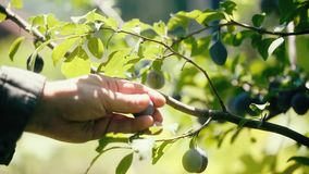 Ripe Plums Hand Picked From Plum Tree stock video