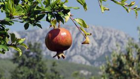Ripe organic pomegranate tree on the mountains background.  stock video footage