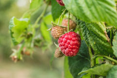 Ripe organic raspberry, growing on a branch. Royalty Free Stock Photo