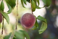 Ripe organic red peach. Hanging on the tree Stock Image