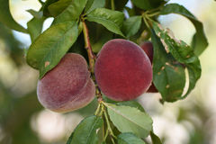 Ripe organic red peaches. Hanging on the tree Royalty Free Stock Photography