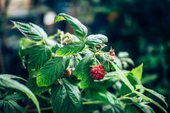 Ripe organic red raspberry on branch in the garden, close up Stock Photography
