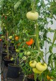 Ripe organic tomatoes in garden ready to harvest royalty free stock image