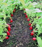 Ripe oval red radish Stock Images