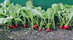 Ripe oval red radish Royalty Free Stock Photo