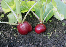 Ripe oval red radishes Royalty Free Stock Photography