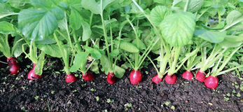 Ripe oval red radishes Royalty Free Stock Photo