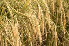Paddy plants stock image