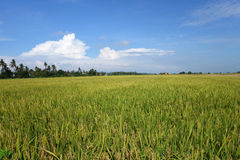 The ripe paddy field is ready for harvest Royalty Free Stock Photography
