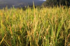 Ripe paddy rice Stock Photography