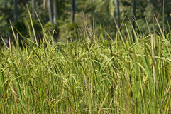 Ripe paddy rice Royalty Free Stock Photos