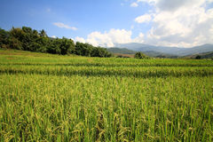 Ripe paddy rice field Royalty Free Stock Photos