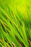 Ripe paddy seeds Royalty Free Stock Photo