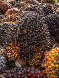 Ripe palm oil fruits Royalty Free Stock Image