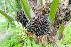 Ripe of Palm Oil Fruits