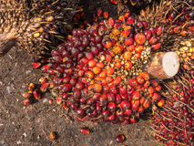 Ripe palm oil fruits Royalty Free Stock Photography