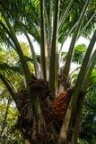 Ripe palm oil in tropical garden Stock Photos