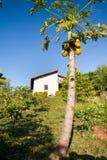 Ripe papaya fruit on tree Stock Image